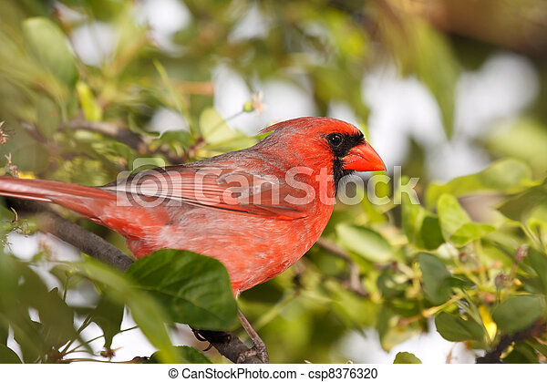 cardinal sitting in a tree - csp8376320