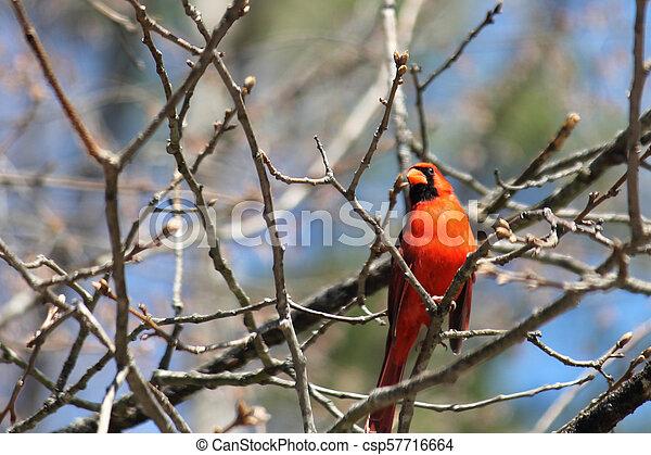 Cardinal - csp57716664