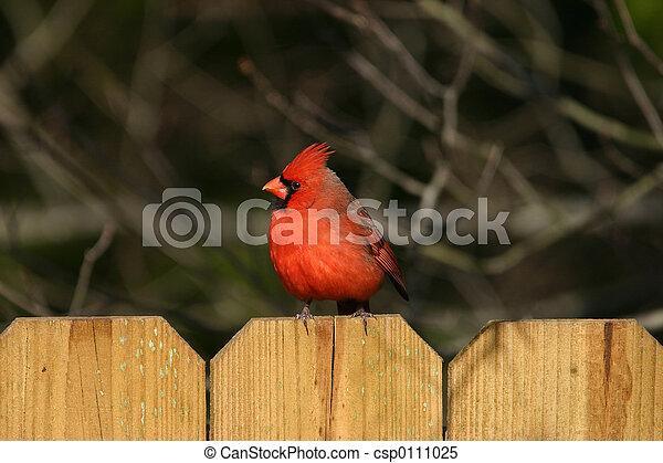 Cardinal - csp0111025