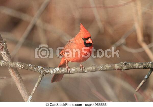 Cardinal - csp44965656