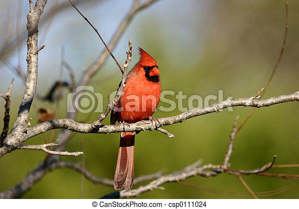 Cardinal - csp0111024