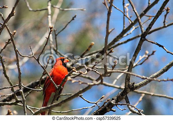 Cardinal - csp57339525