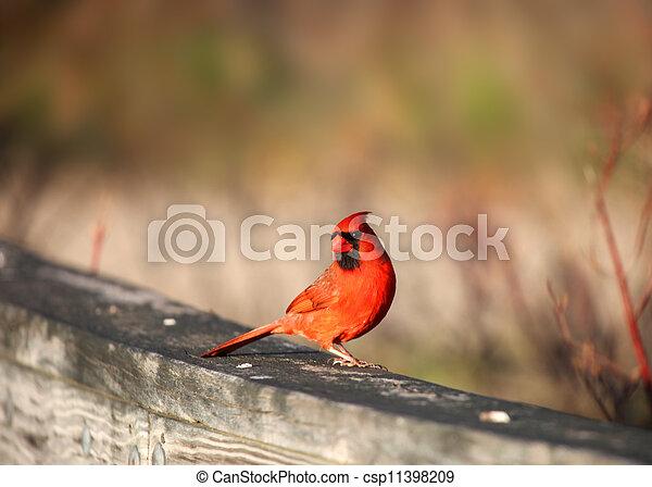 Cardinal - csp11398209