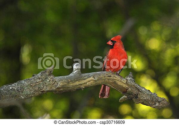 Cardinal - csp30716609