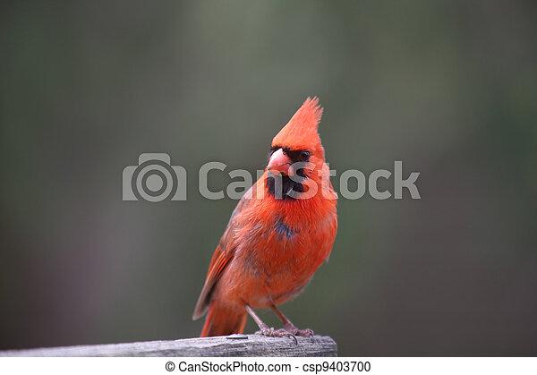 Cardinal - csp9403700