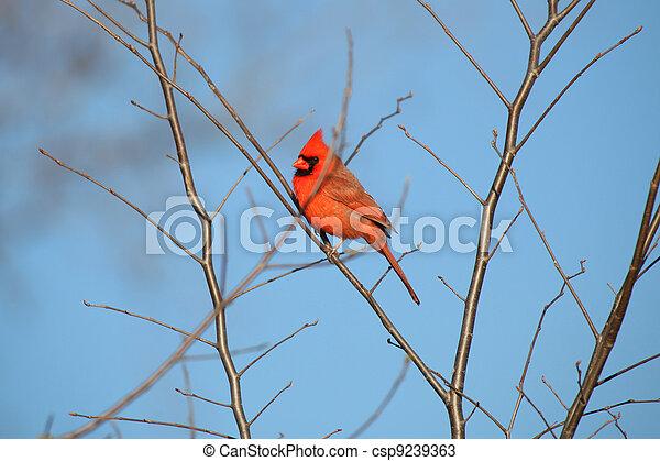 Cardinal - csp9239363