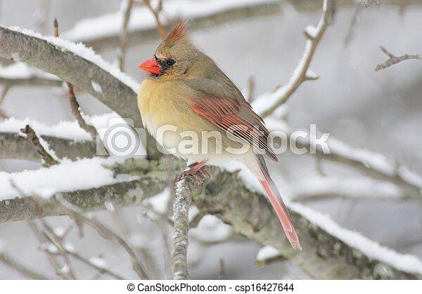 cardinale, neve, femmina - csp16427644