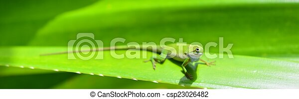 Caribbean Green Anole (Anolis Carolinensis) Lizard - csp23026482