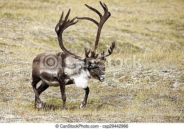Caribou on Tundra Meadow - csp29442966