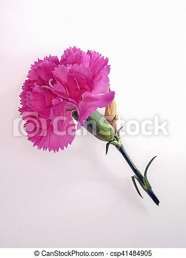 Carnation flower white background mightylinksfo