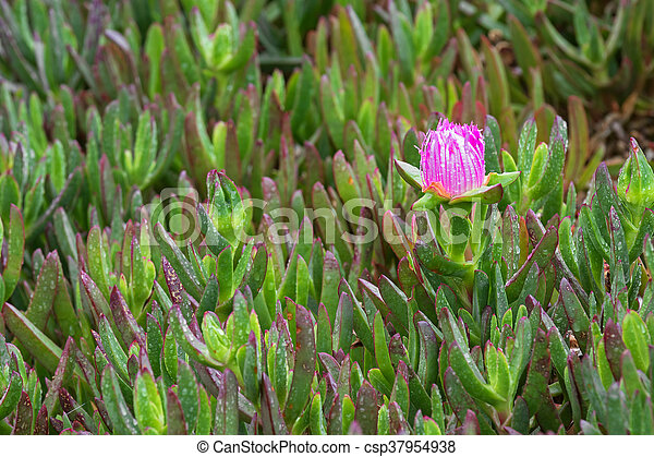 Carpobrotus Rossii Flower Bud Also Called Pigface Ice Plant In Pink Succulent Ground Cover Plant