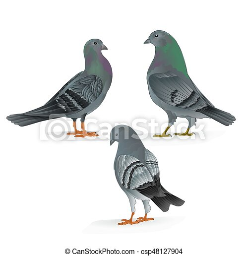 Carriers Pigeons Domestic Breeds Sports Birds Vintage Set Three