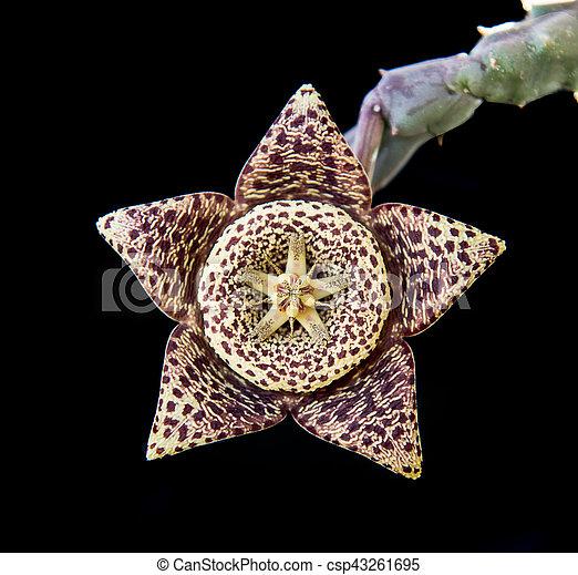 Carrion succulent flower - csp43261695