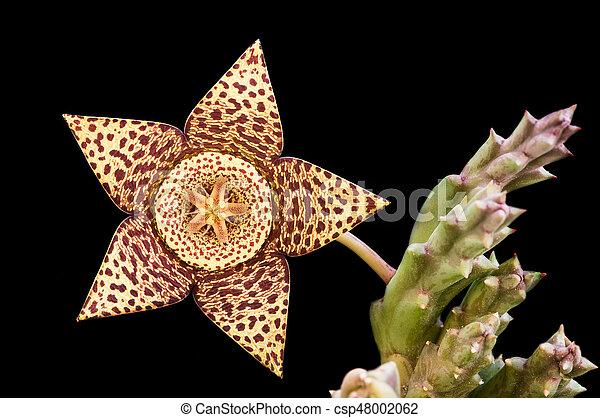 Carrion succulent fresh  flower - csp48002062