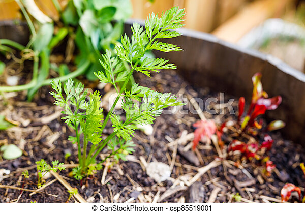 carrot leaves popping up from the ground from veggie pot outdoor in sunny vegetable garden - csp85519001