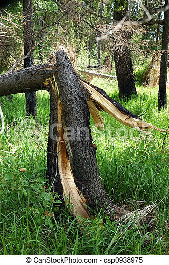 cassé, après, arbre, pin, orage - csp0938975