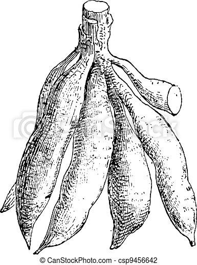 Cassava or Manihot esculenta, vintage engraving - csp9456642