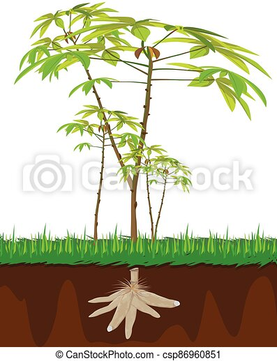 cassava plant on white background vector design - csp86960851