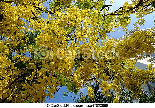 Cassia Fistula Tree Yellow Flower Amazing Cassia Fistula Tree With