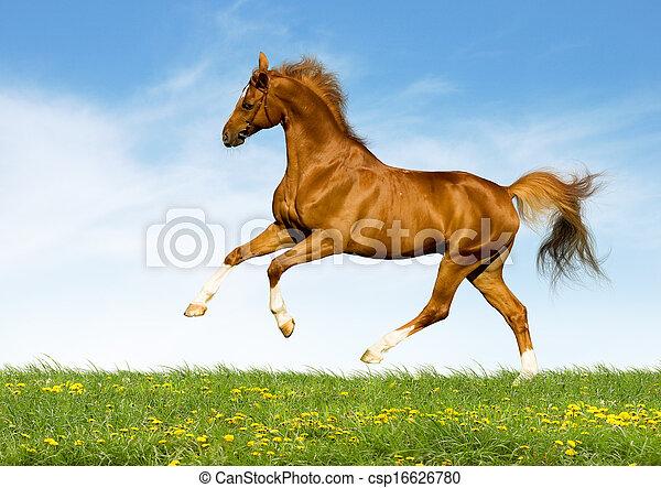 castanha, campo, cavalo, gallops - csp16626780