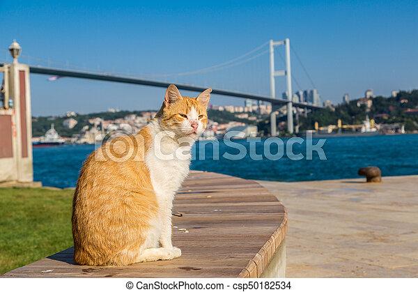 Cat and Bosporus bridge in Istanbul - csp50182534