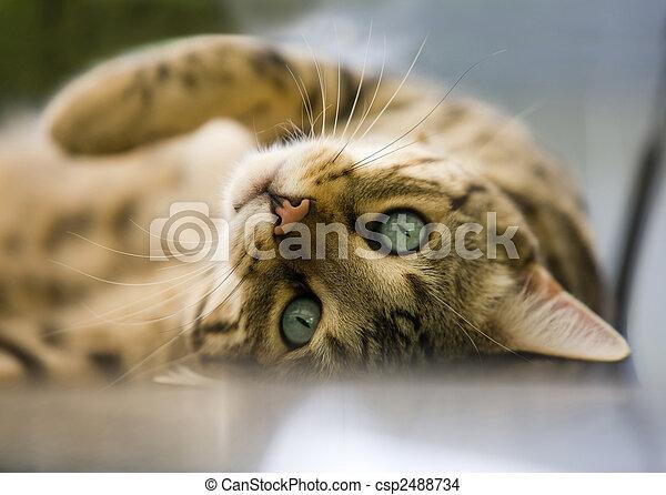 Cat - Bengal cat - csp2488734