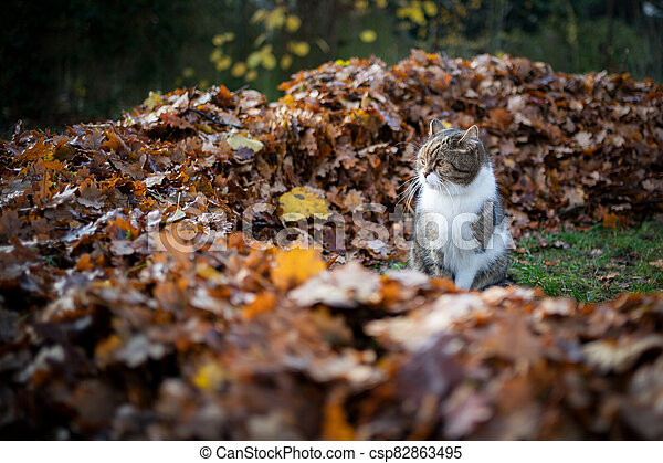 cat beside pile of autumn leaves - csp82863495