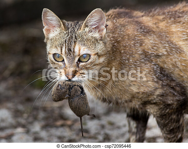 Cat carrying mouse in mouth - csp72095446