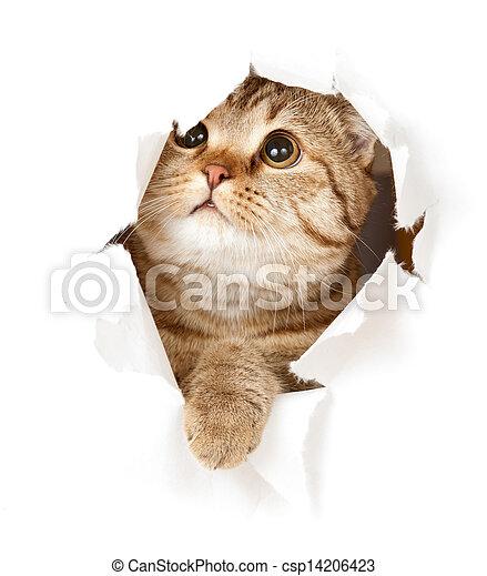 cat in paper hole - csp14206423