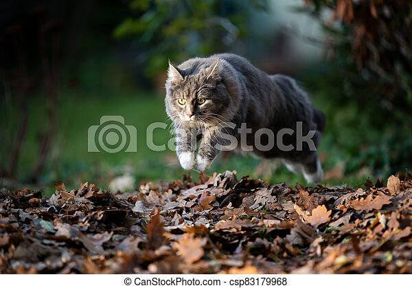 cat jumping over pile of autumn leaves - csp83179968