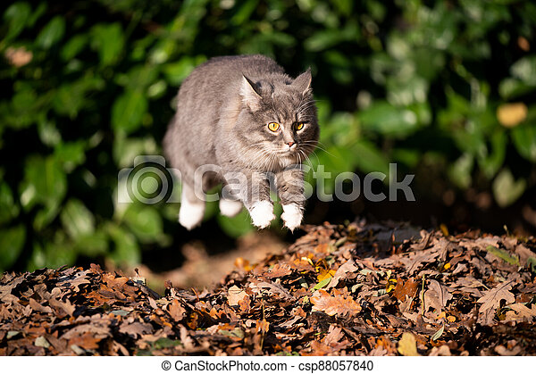 cat jumping over pile of autumn leaves - csp88057840