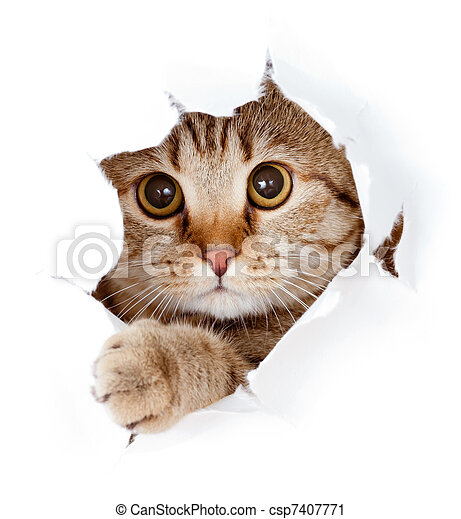 cat looking up in paper side torn hole isolated - csp7407771