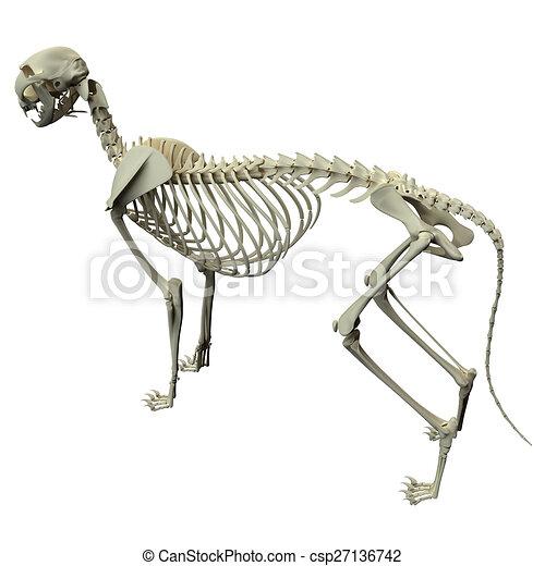 Cat skeleton anatomy - anatomy of a cat skeleton - side view.