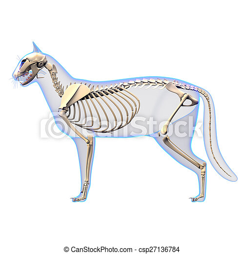 Cat Skeleton Anatomy Anatomy Of A Cat Skeleton Side View