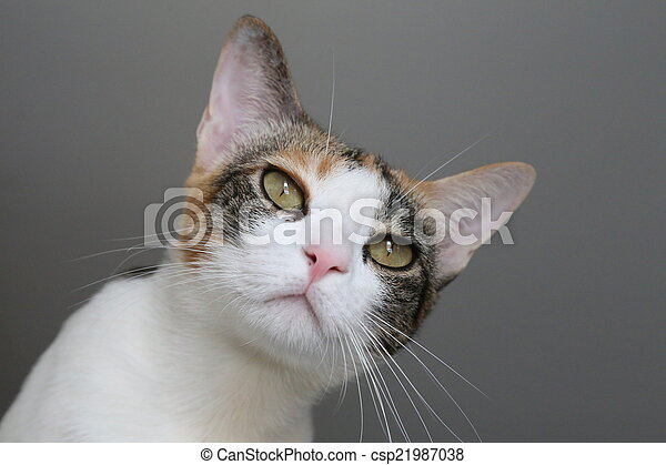 cat three color on grey background - csp21987038