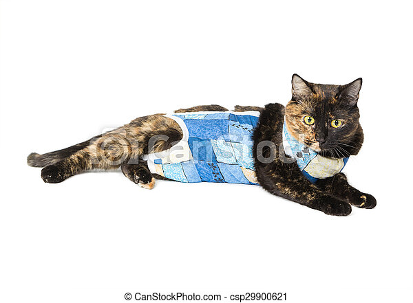 Cat tortoiseshell color after operation sterilization - csp29900621