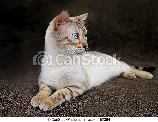 cat with blue eyes - csp41152364