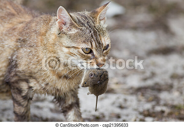 Cat with mouse in mouth - csp21395633