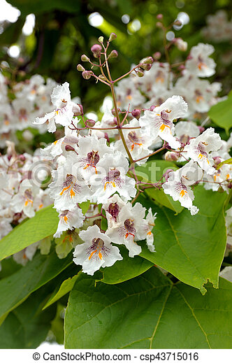 Catalpa bignonioides tree with large white flowers catalpa catalpa bignonioides csp43715016 mightylinksfo