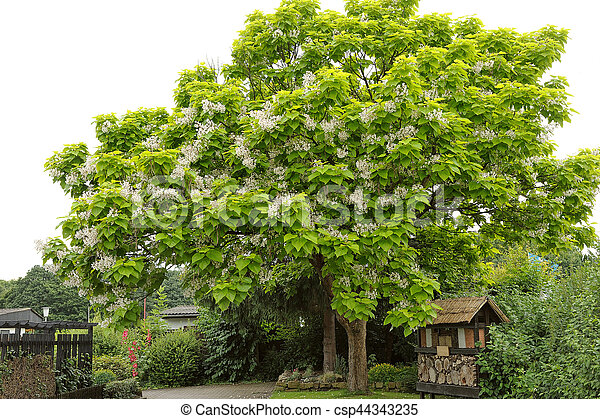 Catalpa bignonioides tree with large white flowers catalpa catalpa bignonioides csp44343235 mightylinksfo