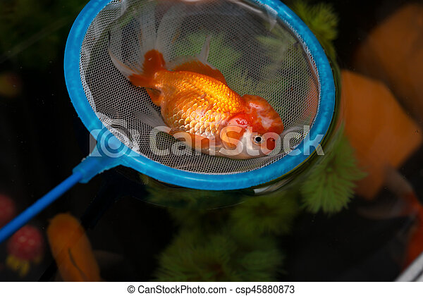 catching a dead gold fish floating on top and some swimming underneath - csp45880873