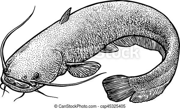 catfish fish illustration drawing engraving line art realistic