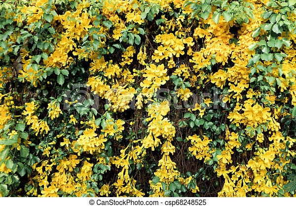 Cat S Claw Creeper Plants Yellow Flowers Cat S Claw Creeper