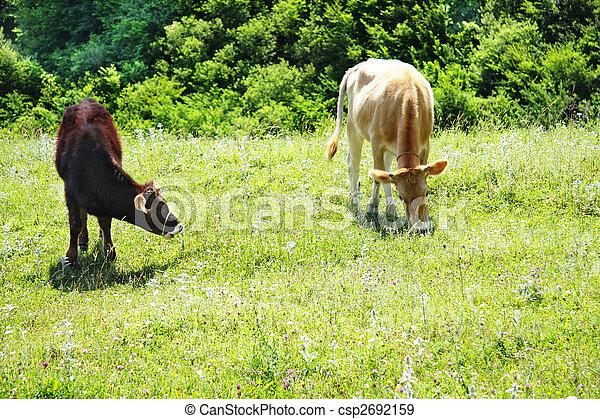 Cattle at pasture - csp2692159