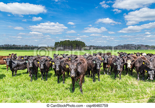 Cattle in a Pasture - csp46460759