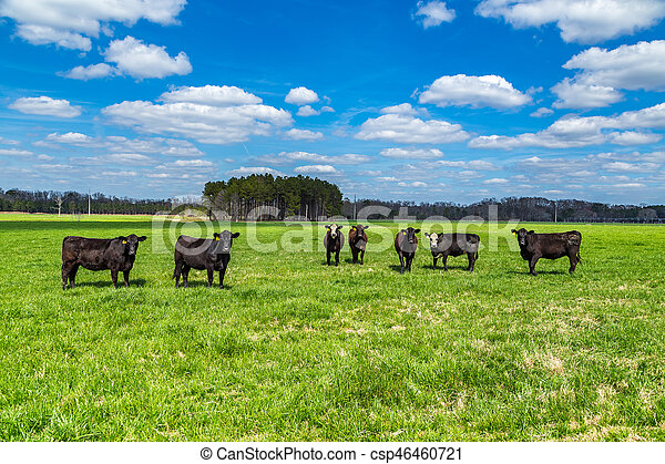 Cattle in a Pasture - csp46460721