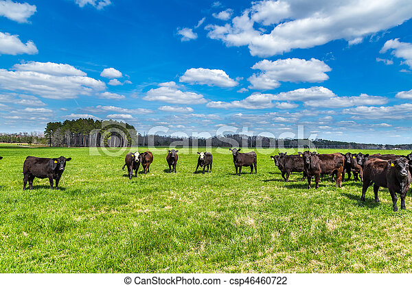 Cattle in a Pasture - csp46460722