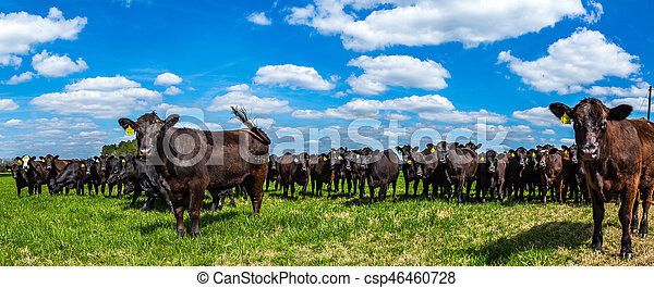 Cattle in a Pasture - csp46460728