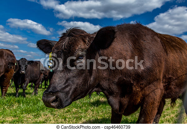 Cattle in a Pasture - csp46460739