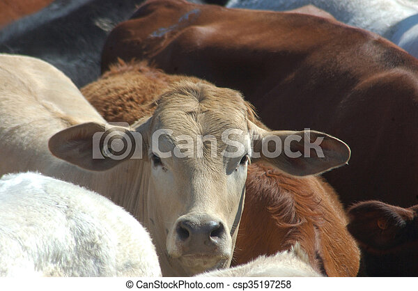 cattle in yard - csp35197258